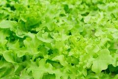 特写镜头新鲜的绿色莴苣或沙拉菜在领域, selecti 图库摄影