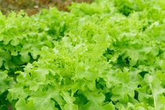 特写镜头新鲜的绿色莴苣或沙拉菜在领域, selecti 库存照片