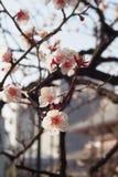 特写镜头日本杏树,在早晨太阳的洋李美丽的花  免版税库存照片