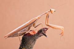 特写镜头昆虫螳螂 库存图片