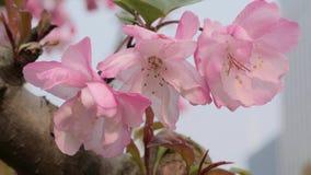 特写镜头春天摇摆在风的桃树开花慢动作射击  美好的桃红色开花的桃树 股票录像
