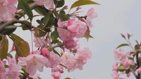 特写镜头春天摇摆在风的桃树开花慢动作射击  美好的桃红色开花的桃树 影视素材