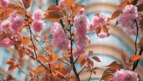 特写镜头春天摇摆在风,在的现代企业大厦的桃树开花慢动作射击