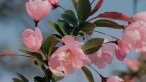 特写镜头春天桃树开花摇摆在风的,在背景的天空蔚蓝慢动作射击  美丽 股票视频