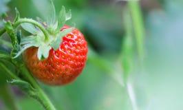 特写镜头有机红色草莓生长领域 美好的庭院莓果宏指令视图 浅景深,软有选择性 库存图片