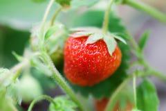特写镜头有机红色草莓生长领域 美好的庭院莓果宏指令视图 浅景深,软有选择性 免版税图库摄影