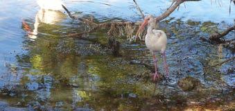 特写镜头朱鹭鸟哺养 免版税库存照片