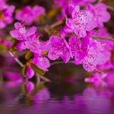 特写镜头杜鹃花dauricum花 进展在亚尔他的春天 免版税库存图片