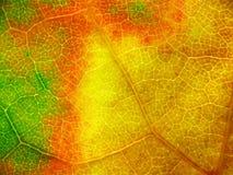 特写镜头极其叶子槭树 免版税库存图片