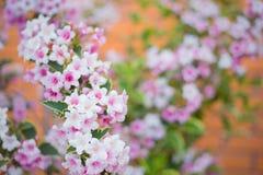 特写镜头桃红色锦带花在灌木开花在被弄脏的背景的晴天在春天 免版税库存图片