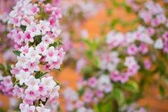 特写镜头桃红色锦带花在灌木开花在被弄脏的背景的晴天在春天 库存照片