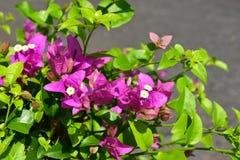 特写镜头桃红色Phra Phong花在庭院里 免版税图库摄影