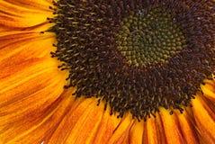特写镜头桔子向日葵 免版税库存图片