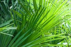 特写镜头棕榈树叶子 免版税库存图片