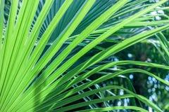 特写镜头棕榈树叶子 库存图片