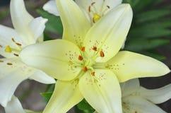 特写镜头橙红黄色白百合花在庭院里 库存图片