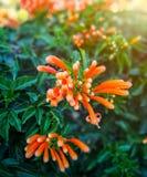 特写镜头橙色喇叭花有被弄脏的绿色背景在庭院里 免版税库存图片