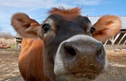 特写镜头母牛表面小牝牛泽西年轻人 库存图片