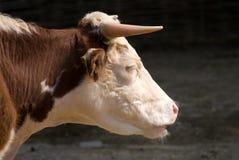 特写镜头母牛题头配置文件端 免版税图库摄影