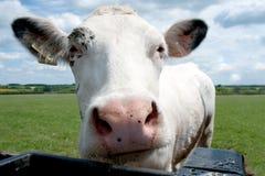 特写镜头母牛题头 库存照片