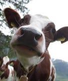特写镜头母牛 免版税库存图片