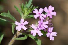 特写镜头沙漠花紫色 免版税库存照片