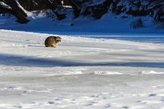 特写镜头浣熊在冬天在加拿大 免版税库存图片