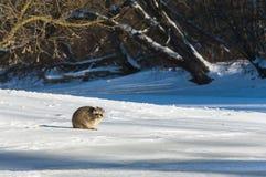 特写镜头浣熊在冬天 库存图片