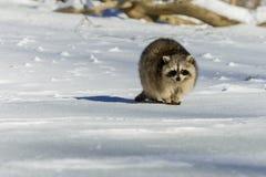 特写镜头浣熊在冬天 图库摄影
