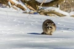 特写镜头浣熊在冬天 免版税库存图片