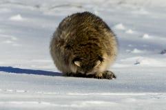 特写镜头浣熊在冬天 免版税图库摄影