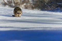 特写镜头浣熊在冬天 库存照片
