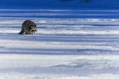 特写镜头浣熊在冬天 免版税库存照片