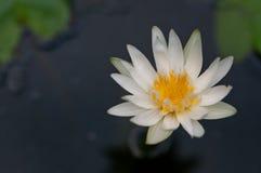 特写镜头浮动的莲花水白色 免版税库存图片