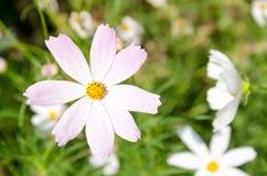 特写镜头淡粉红的花说出COSMOS名字 免版税库存照片
