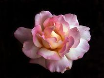 特写镜头牡丹粉红色 免版税库存图片