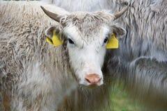 特写镜头牦牛 库存图片