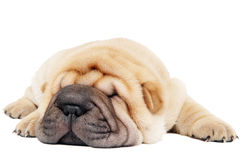 特写镜头狗位于的sharpei年轻人 免版税库存图片