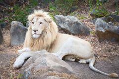 特写镜头狮子 库存照片