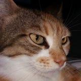 特写镜头猫面孔 图库摄影