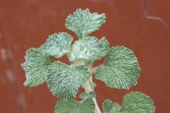 特写镜头生锈的红色背景的苦薄荷植物 库存照片