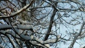 特写镜头用雪盖的树枝杈 股票视频