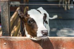特写镜头画象幼小母牛注视着入照相机在摊位 免版税库存照片