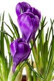 特写镜头番红花开花紫色 免版税库存照片
