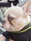 特写镜头白变种法国牛头犬品种狗小狗 佩带的黑色  库存照片