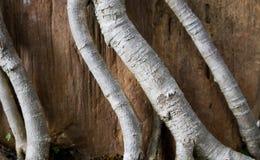 特写镜头盆景根源木传播纹理 抽象背景 库存照片