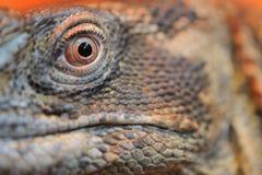 特写镜头眼睛鬣鳞蜥 库存图片