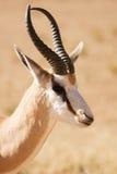 特写镜头瞪羚纵向跳羚 库存图片