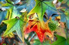 特写镜头秋天叶子槭树 图库摄影