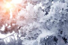 特写镜头积雪的树枝 飞雪,暴风雪,在日落的霜阳光 背景 图库摄影